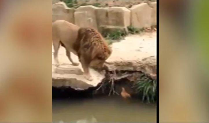 पानी में तैर रही बत्तख को शेर ने प्यार से पुचकारा, IFS Officer बोले – जंगली हैं बर्बर नहीं