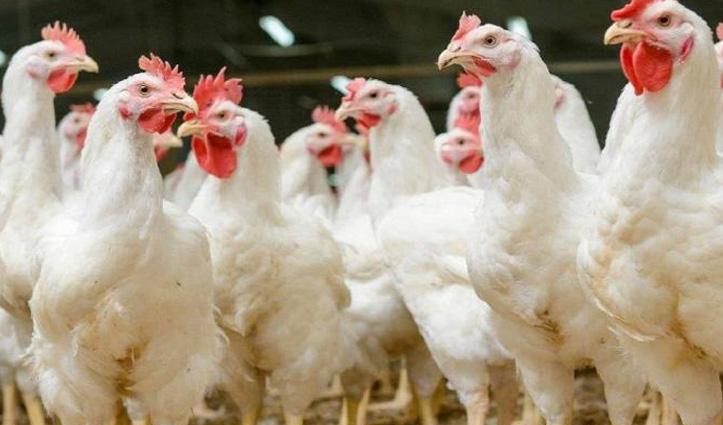 पठानकोट में बर्ड फ्लू की दस्तक से कांगड़ा में अलर्ट, मुर्गे लाने और ले जाने पर पाबंदी