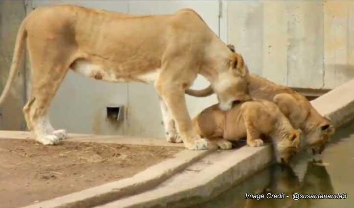 बच्चों को नहलाने की कोशिश नाकाम, शेरनी ने लगाई तिकड़म फिर भी बचकर भागा शावक