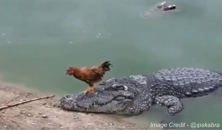मगरमच्छ के सिर पर डांस कर रहा था मुर्गा और फिर जो हुआ …