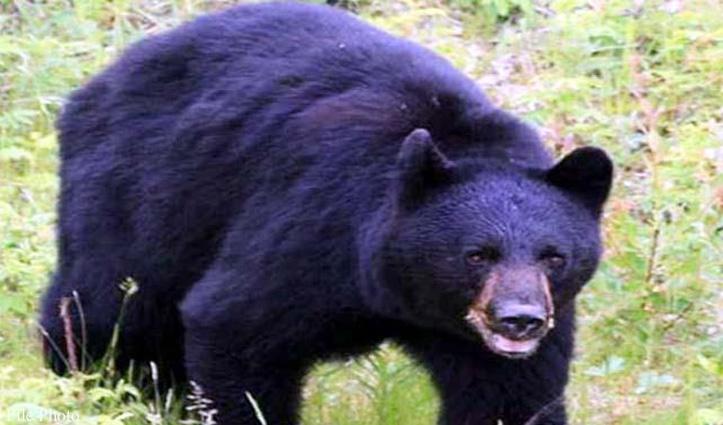 Himachal : कमरे से बाहर निकलते ही व्यक्ति पर टूट पड़े दो भालू, किया लहूलुहान
