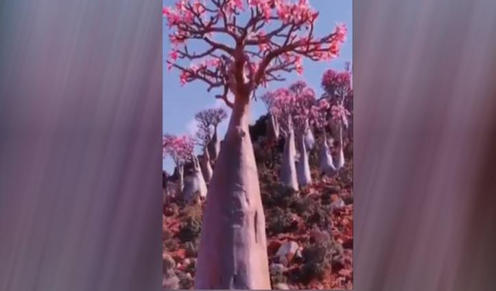वीडियो : रेगिस्तान में खिले खूबसूरत गुलाब, नजारा देख आप भी हो जाएंगे खुश