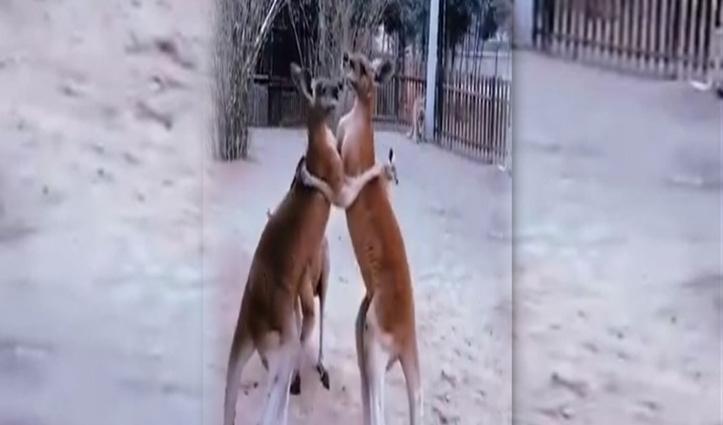 जानवर भी करते हैं इंसानों की तरह फाइट, यकीन नहीं तो देख लीजिए ये वीडियो