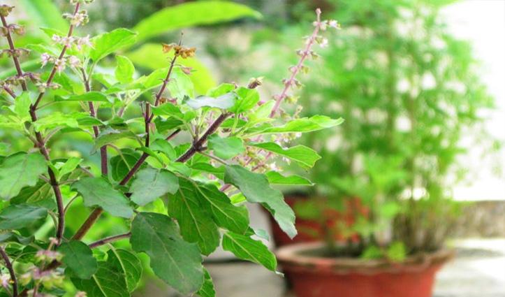 घर बैठे कमाएं लाखों-ये पौधा कर देगा आपको मालामाल-देखें Video