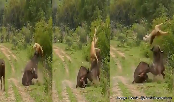 इस जानवर ने जंगल के राजा को भैंस से चटा दी धूल, अब कभी नहीं लेगा पंगा-  देखें वीडियो