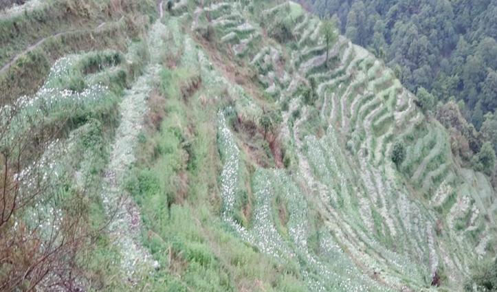 पधर में नष्ट की पुलिस ने नशे की खेती, 10 दिन पहले यहीं पर की थी कार्रवाई