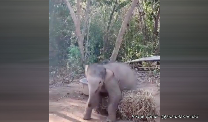 जंगल में घास के ढेर से अकेले खेल रहा हाथी का बच्चा, कोरोना काल में दे रहा बड़ा मैसेज