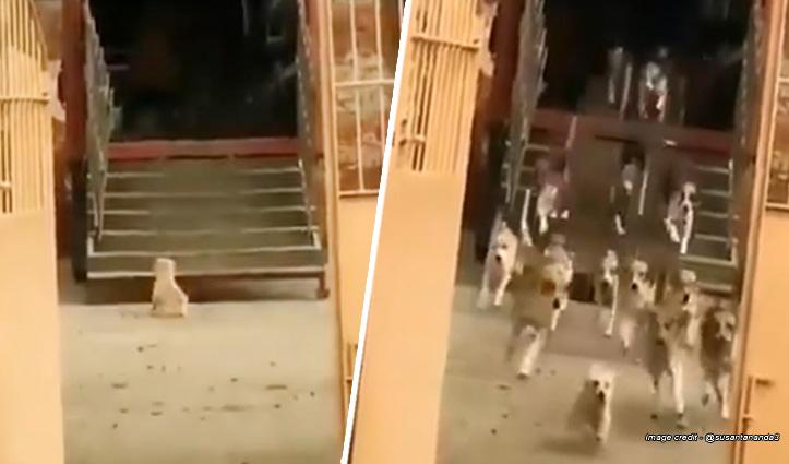 लीडर हो तो ऐसा : छोटे से पपी की आवाज से दौड़े चले आए दर्जनों खूंखार कुत्ते
