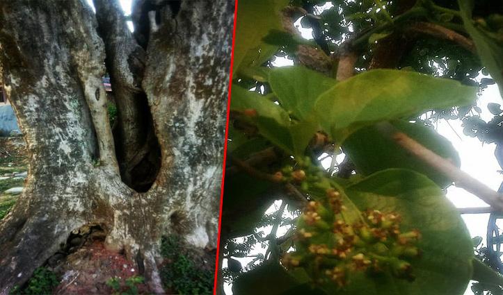 ये है 100 साल का दुर्लभ लसियाड़े का पेड़, गांव के हर घर में इसकी सब्जी की पहुंच