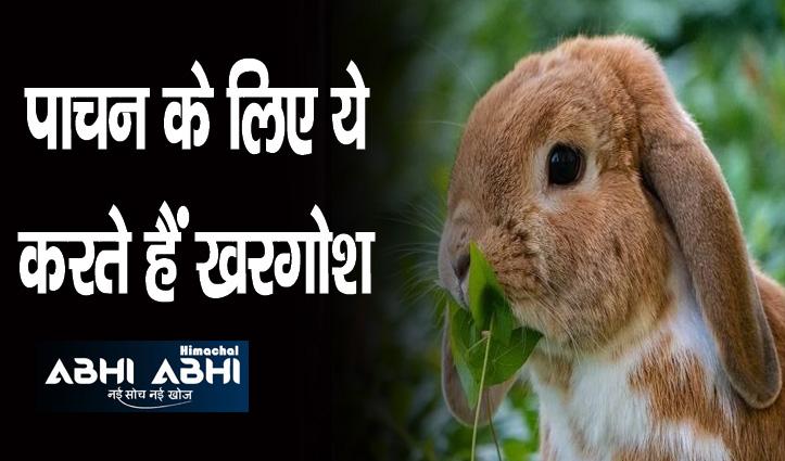 अपना ही मल खाते हैं खरगोश, क्या आप जानते हैं इसके पीछे की वजह