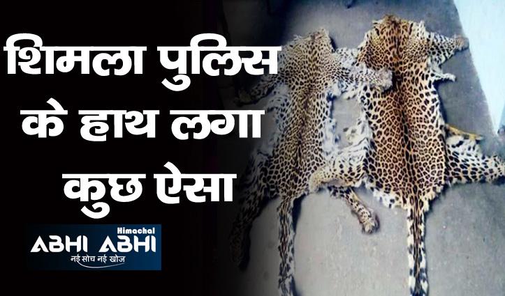 शिमला पुलिस ने एक घर से बरामद की तेंदुए की खालें व अन्य अंग, बाजार में लाखों है कीमत
