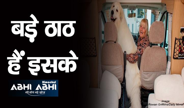 50 किलो का ये विशालकाय कुत्ता 30 लाख की गाड़ी में करता है सफर