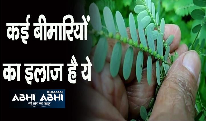 इस पौधे के पत्तों से ठीक हो जाएंगे मुंह के छाले, जानिए कैसे करें इस्तेमाल