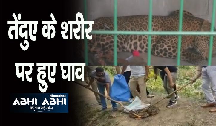 ऊना के बनगढ़ में पकड़ा अजगर, बंगाणा में घायल तेंदुआ किया रेस्क्यू