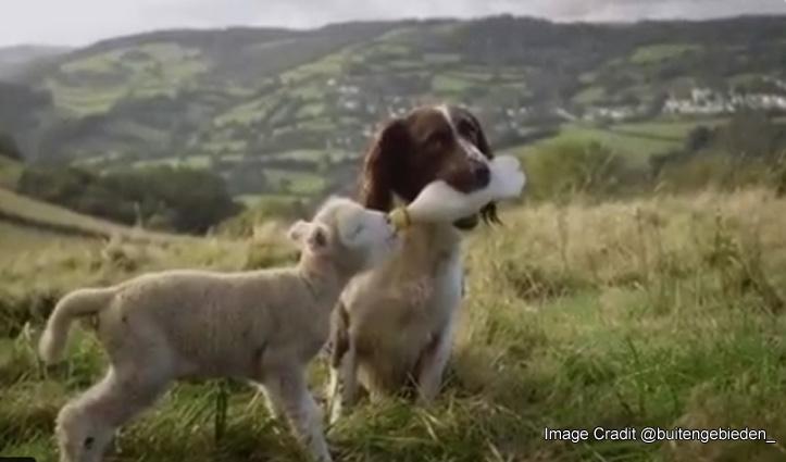 यहां एक कुत्ता पिला रहा भेड़ के बच्चे को दूध, वायरल हो रहा वीडियो
