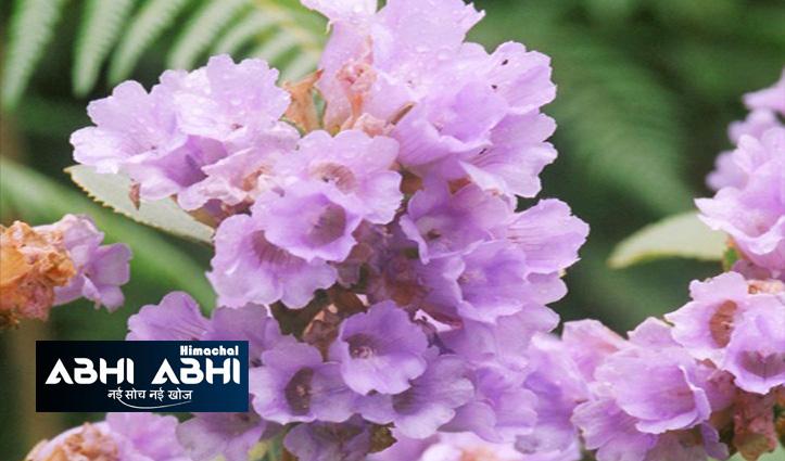 इन फूलों को देखने के लिए दुनिया भर से पहुंचते हैं लोग, 12 साल में खिलते हैं एक बार