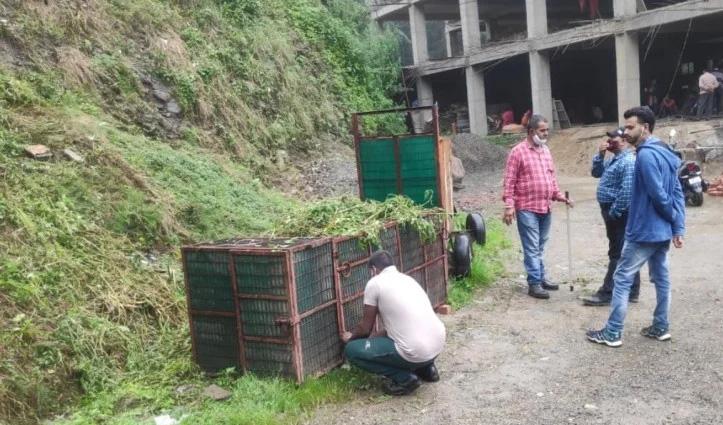 दो पिंजरा लगाकर तेंदुए की आस में बैठा शिमला वन्यजीव विभाग