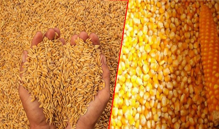 धान के साथ मक्की बेचने की चिंता से मुक्त होंगे किसान, जाने क्या है सरकार का प्लान