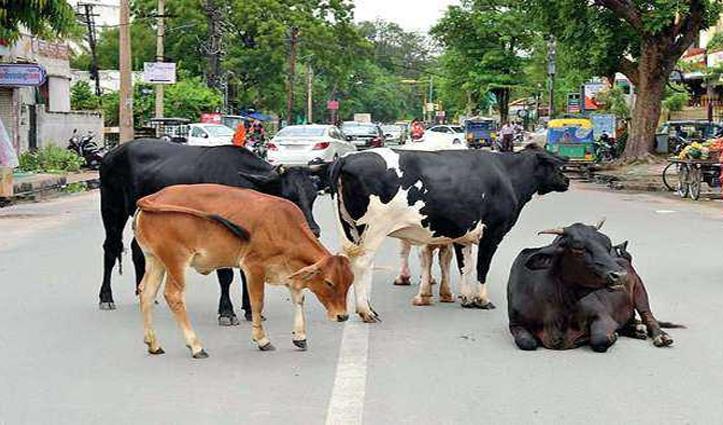हिमाचल में यहां आवारा पशु खा गए 14 हजार रुपए के ब्रेड